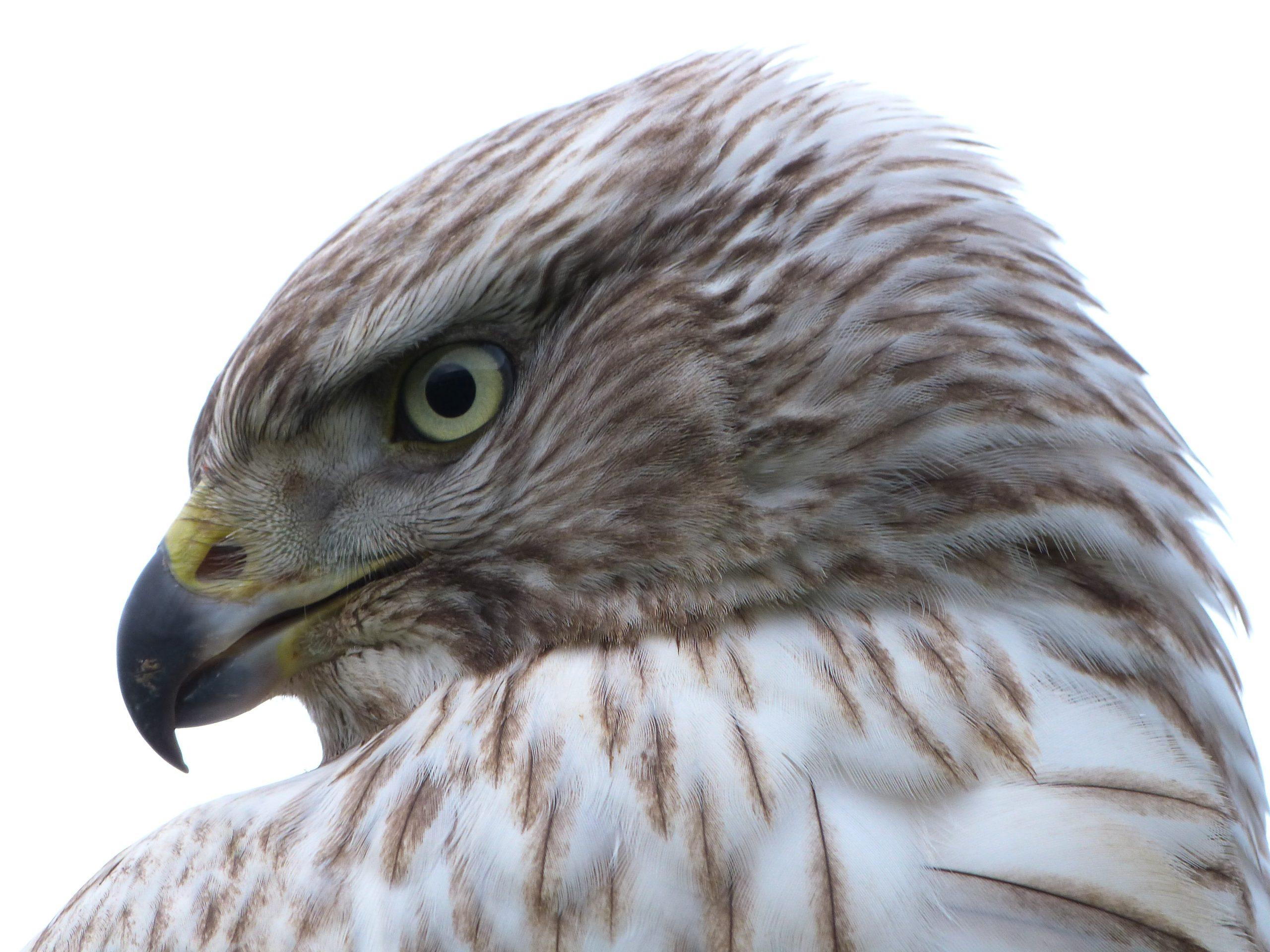 Course: Keeping Birds of Prey
