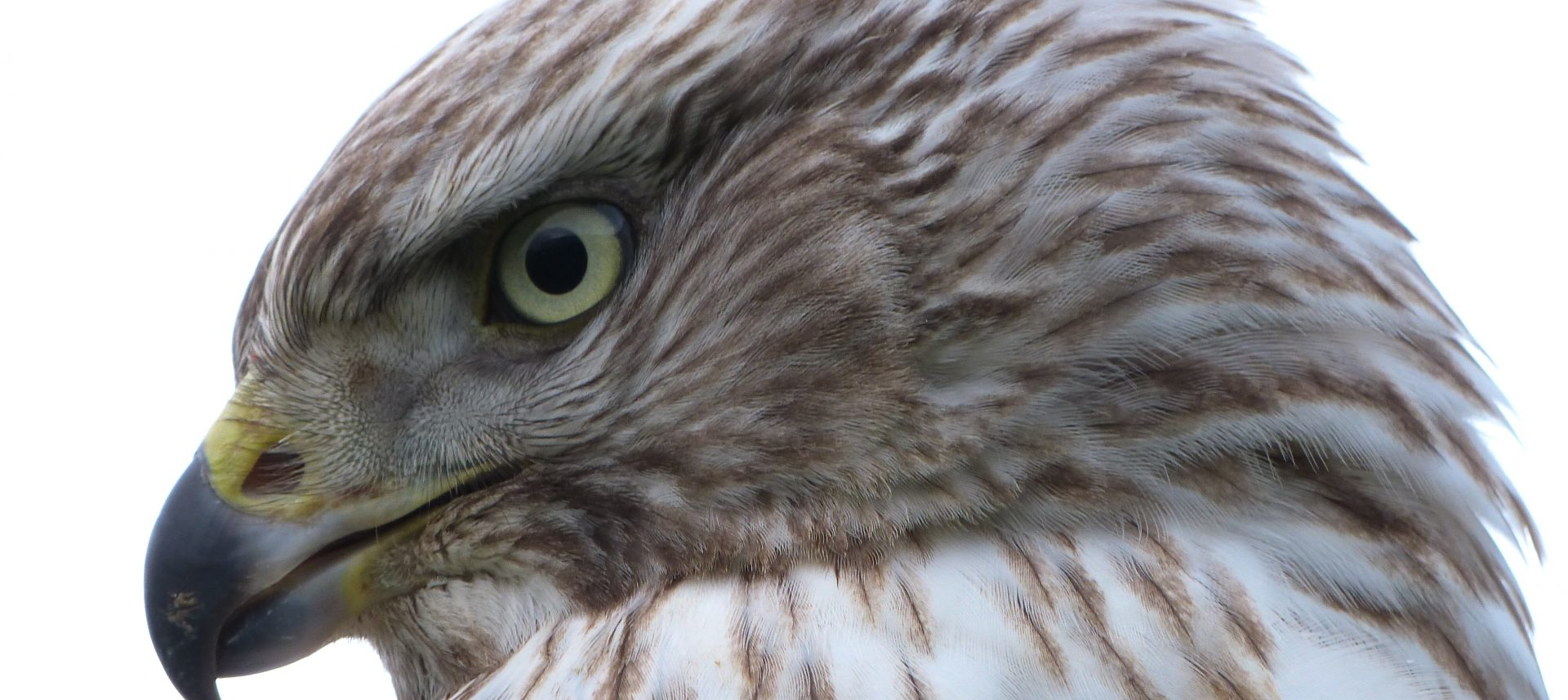 Falconry weekend 3-4 September 2016
